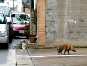 野良猫対狸