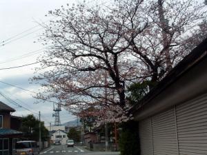 桜はもうちょっとか?